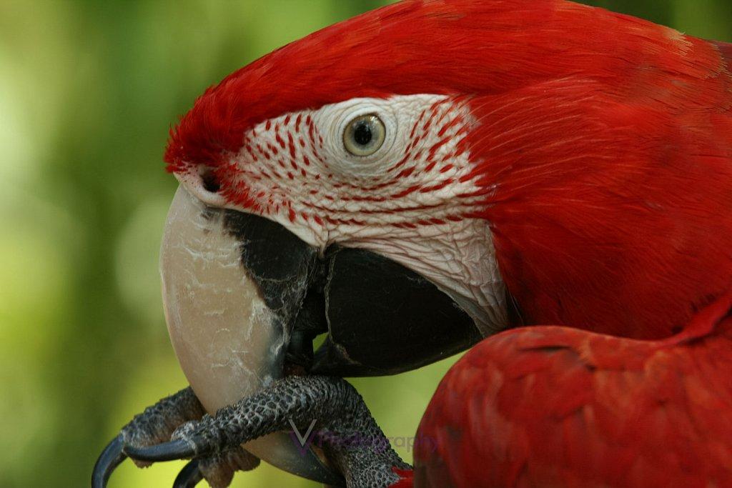 Ara Macao - Bali Bird Park in Bali