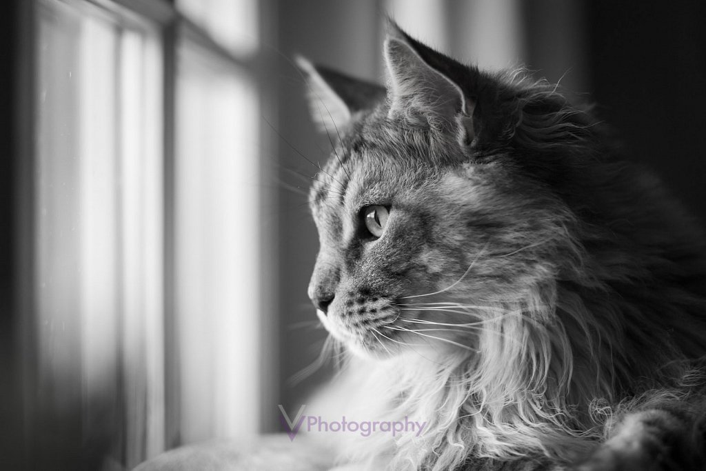 Maine Coon Kater Miko